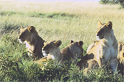 Lions say Tourists are Coming